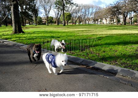 Two bulldog chasing a Japanese spitz puppy