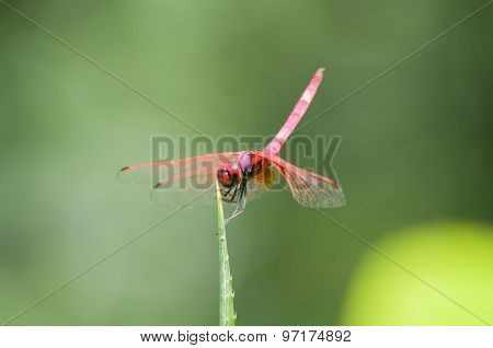 Red Dragonfly on a leaf outdoors.