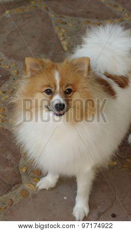 Close Up Pomeranian.