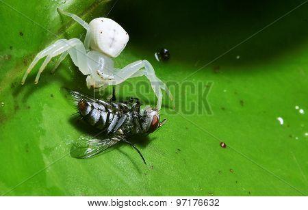 Macro White Spider