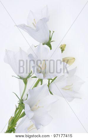 Branch bellflowers