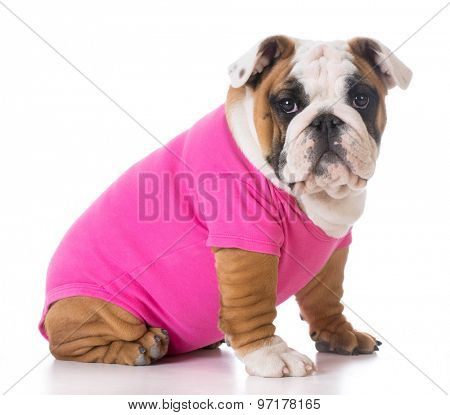 female puppy wearing pink sweater - bulldog