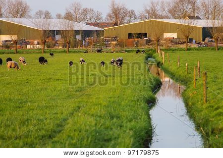 Cows Graze In A Meadow Near A Farm In The Netherlands.
