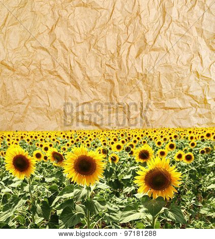 Sunflower field on old paper texture background