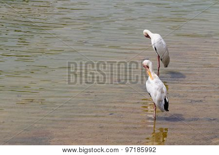 2 lesser adjutants drinking water