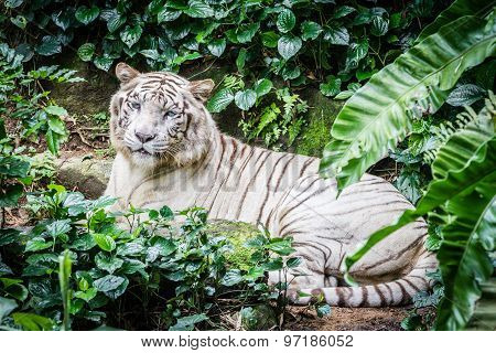 White Tiger in the Forest