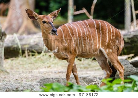 African striped deer