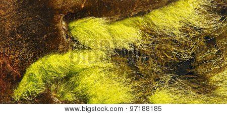 Ulva Intestinalis Algae