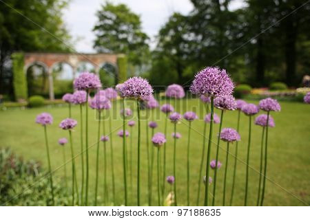The allium flowers