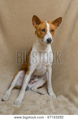 Portrait of cute basenji dog