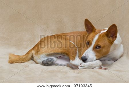 Basenji dog resting on a sofa