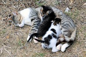 picture of lactating  - Mother cat and kittens during lactation photographed in daylight - JPG