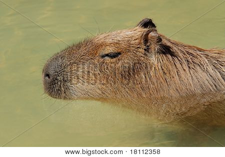 Capybara Portrait