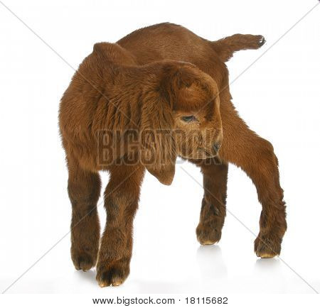 baby goat or kid standing with reflection on white background - south african boer kalahari purebred