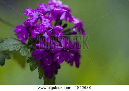 Purple Verbena After Rain