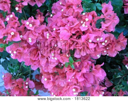 Pink Bougainvilleas