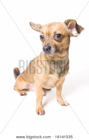 Funny Dog With A Bent Ear