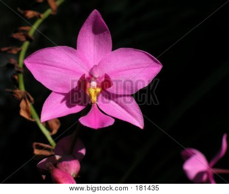 Pink Orchid In The Night