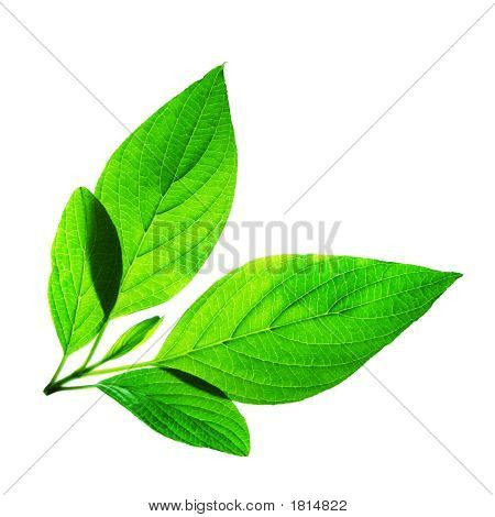 Fresh Green Leaves On White