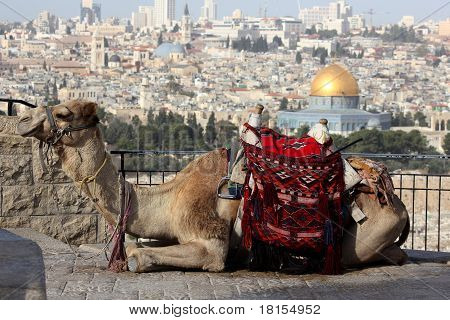 Camel in front of the Temple Mount