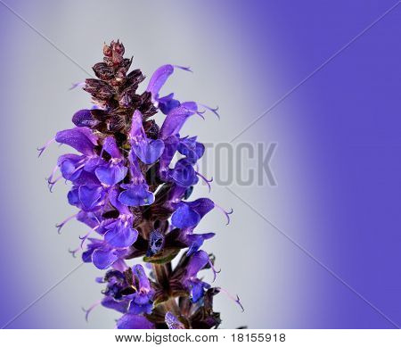 Macro Purple May Knight Salvia Nemorosa Meadow Sage
