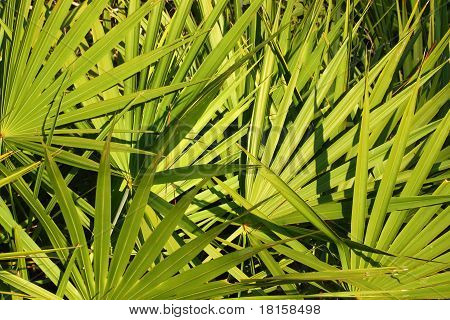 Saw Palmetto Background