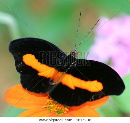 Grecian Butterfly
