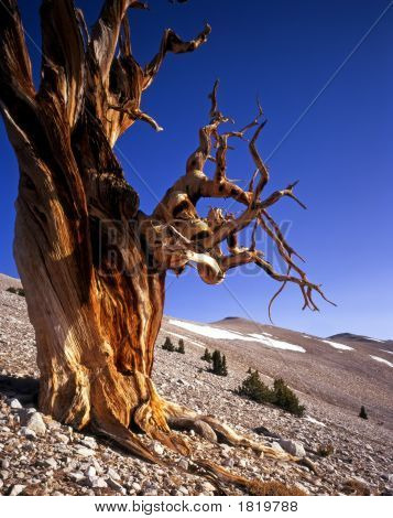 Bristle Cone Pine Tree Two