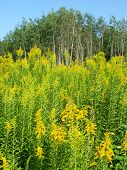 pic of winnebago  - Field of blooming Goldenrod at Colored Sands Forest Preserve in northern Illinois - JPG