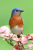 stock photo of dogwood  - Male Eastern Bluebird  - JPG