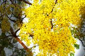 image of vishu  - National tree of Thailand Golden Shower Tree Art Print - JPG