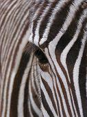 Zebra  Eye Detail