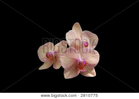 Pink Orchid Isolated