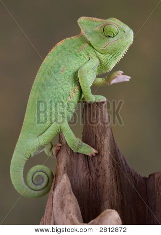Chameleon Looking Down