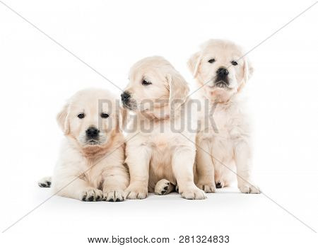 poster of Emotional behaviour of golden retriever puppies sitting isolated on white background