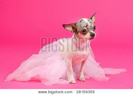 Adorable Chihuahua Dressed like ballerina dancer