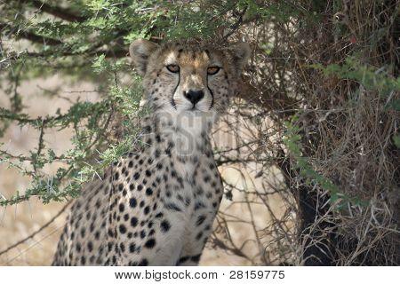 Cheetah, Acinonyx jubatus, in Serengeti National Park, Tanzania, Africa