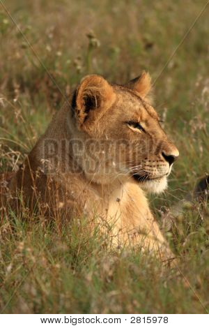 Young Lion (Panthera Leo) Lying In The Grass
