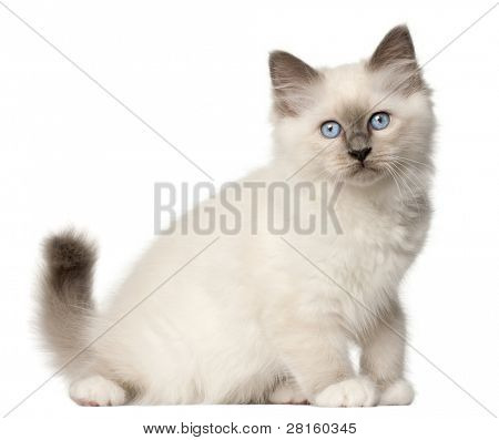 Birman kitten, 3 months old, sitting in front of white background