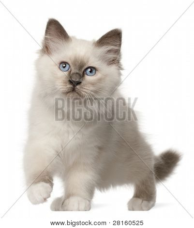 Birman kitten, 3 months old, standing in front of white background