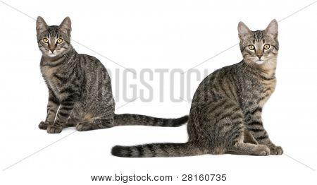Gatos de raça misturada, Felis catus, 6 meses de idade, sentado na frente de fundo branco
