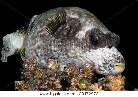Puffer fish on rock.