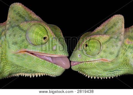 Kissing Chameleons