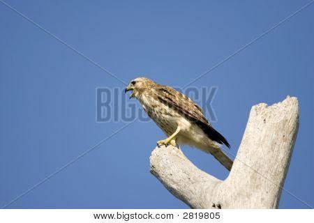 Sharpshinned Hawk Screeming