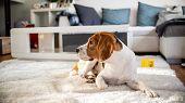 Purebred Beagle Dog Lying On Carpet In Living Room poster