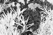 Rosemary And Curly Violet Cabbage Close Up. Gardening Unusual Crops. Decorative Crops Concept. Abstr poster