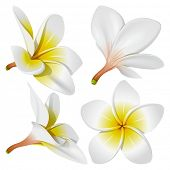 Frangipani (Plumeria). Hawaii, Bali (Indonesia), Shri-Lanka tropical necklace flowers. Vector Illust