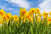 Yellow Dutch Daffodil Flowers Close Up Low Angle Of View With Blue Sky Background poster