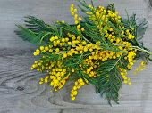 Brunches Of Yellow Mimosa Flower On Wooden Background. Mimosa Flowers Yellow Bouquet Present For Bir poster