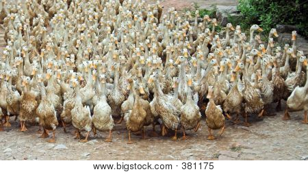 March Of The Ducks